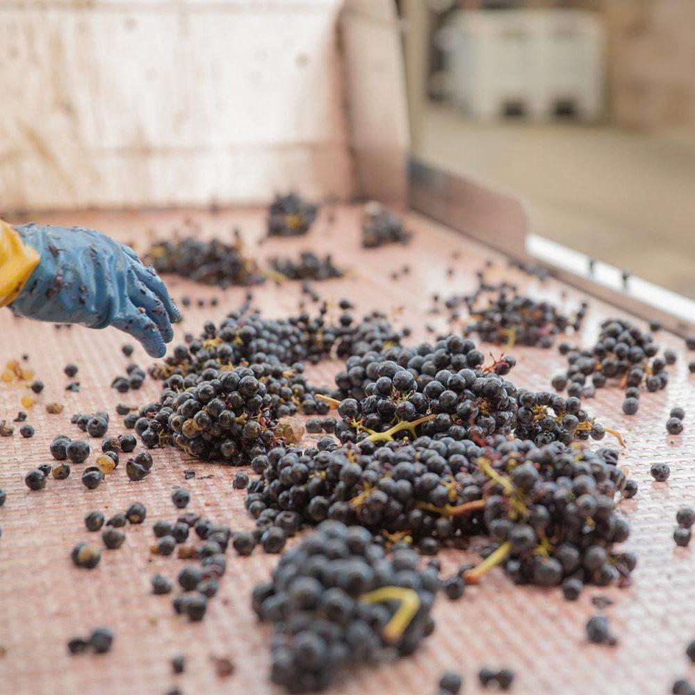 Personal de bodega seleccionando uva